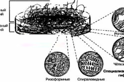 Схема роста плесневых грибов